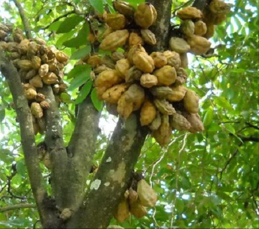 Buah-buahan Bahan Rujak yang Sudah Mulai Langka