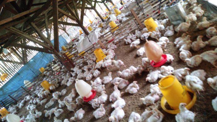 Wow Harga Ayam di Peternak Sukabumi Anjlok